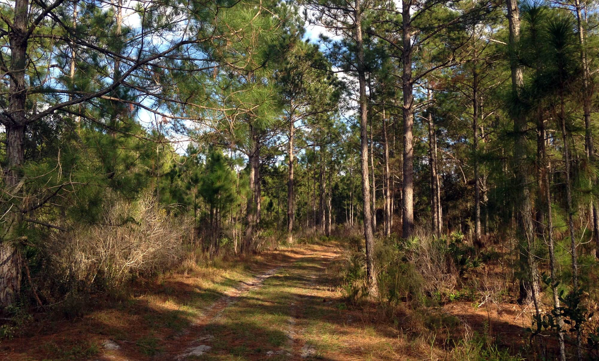 Pine covered path through East Tract at Green Swamp Wilderness Preserve in Lakeland, FL