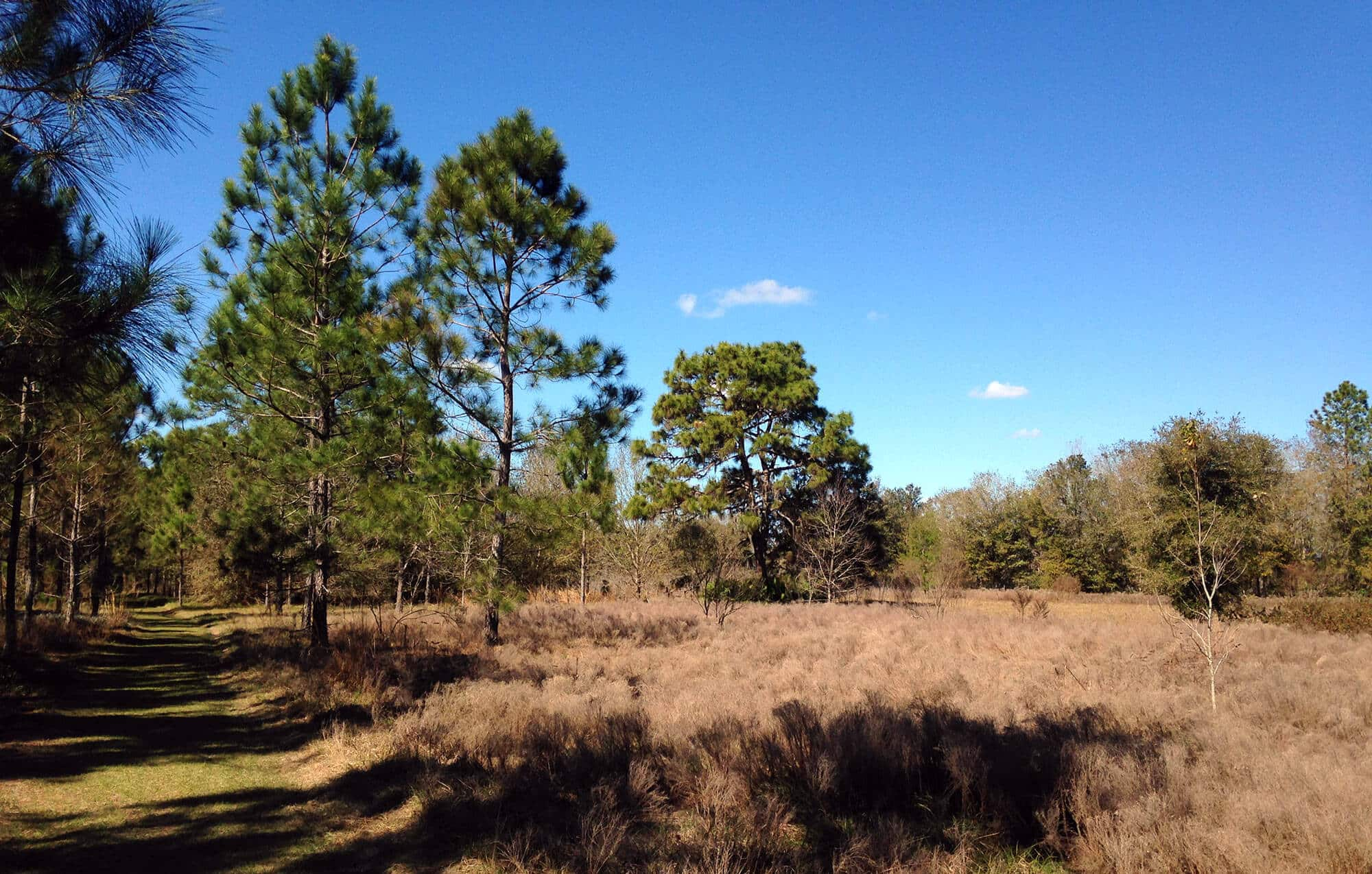 Grassy hiking trail next to scrub and pines at Gator Creek Reserve in Lakeland, FL