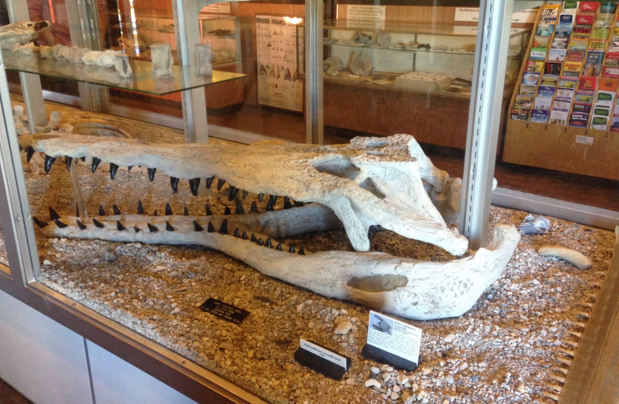 alligator skull on display at Mulberry Phosphate Museum