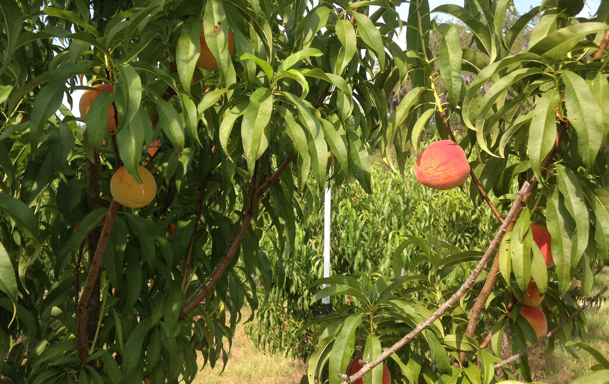 peaches on tree at Oponay Farms in Lakeland, FL