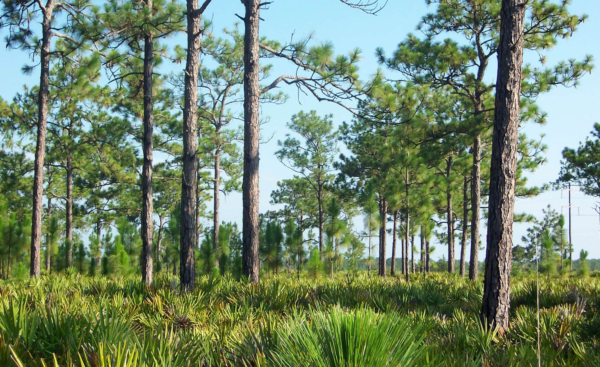 Trees and scrub along hiking trail at SUMICA in Lake Wales, FL