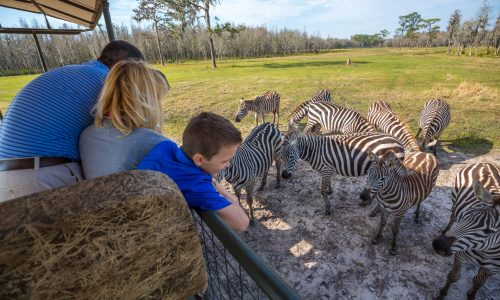 Family of 3 in a safari vehicle looking at zebras at Safari Wilderness Ranch in Lakeland, FL