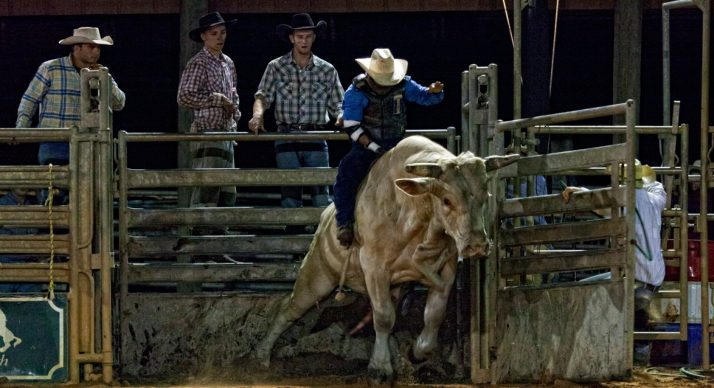 cowboy on a bull during Saturday Night Rodeo at Westgate River Ranch Resort